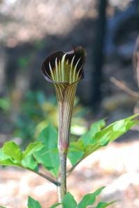 Arisaema species | Flickr - Fotosharing!