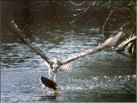 Osprey hunting (Pandion haliaetus) (물수리)