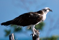 Interesting Facts About Osprey, Facts About Osprey, Osprey facts, about Osprey, Osprey photos, funny facts of Osprey | Image gossips