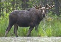 Moose 10 | Flickr - Photo Sharing!