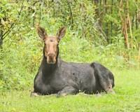 Moose Yearling   Flickr - Photo Sharing!