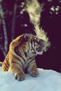 Bengal Tiger - Imgur