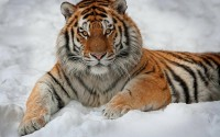 snow,winter winter snow animals tigers 1920x1200 wallpaper – snow,winter winter snow animals tigers 1920x1200 wallpaper – Winter Wallpaper – Desktop Wallpaper