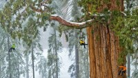 Sequoias: Scaling a Forest Giant - Photo Gallery - Pictures, More From National Geographic Magazine