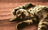 animals,cats cats animals feline kittens pets 1920x1200 wallpaper – animals,cats cats animals feline kittens pets 1920x1200 wallpaper – Cats Wallpaper – Desktop Wallpaper