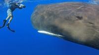 Resultados da Pesquisa de imagens do Google para http://resources0.news.com.au/images/2010/04/08/1225851/581444-sperm-whale.jpg