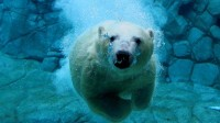 water,animals water animals swim polar bears 1920x1080 wallpaper – water,animals water animals swim polar bears 1920x1080 wallpaper – Swimming Wallpaper – Desktop Wallpaper