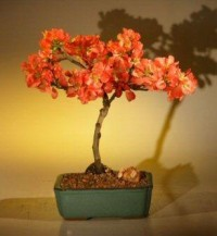 Japanese Flowering Quince Bonsai Tree Chaenomles 'Toyo Nishiki' | eBay