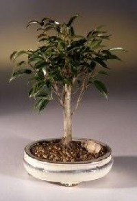 Ficus Midnight Bonsai Tree- Medium(benjamina 'midnight')