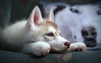 dogs,animals animals dogs house pets siberian husky 2560x1600 wallpaper – Dogs Wallpapers – Free Desktop Wallpapers