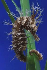 The Secret Lives of Seahorses | Monterey Bay Aquarium
