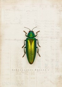 5x7 Emerald Beetle by f2images on Etsy
