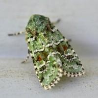 Lacinipolia laudabilis, ????????? Moth ????.   Flickr - Photo Sharing!
