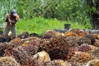 Indonesia News | Indonesia Crude Palm Oil | Multi Agro Shares Fall 20% on Debut | Indonesia Today | Indonesia News | Breaking News | Latest News | Finance News