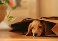 animals,dogs animals dogs dachshund 2950x2094 wallpaper – animals,dogs animals dogs dachshund 2950x2094 wallpaper – Dogs Wallpaper – Desktop Wallpaper