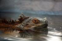 Iguana by *Sagittor