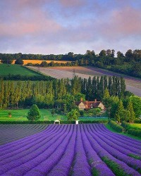The Best of Our Earth | Lavender Field in Eynsford, England.