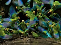 Parakeet Picture -- Bird Wallpaper -- National Geographic Photo of the Day