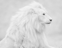 beautiful albino lion photo | one big photo