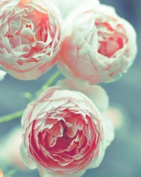 Flower photography pink roses teal blue green garden by Raceytay