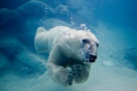 Researchers Find Polar Bears Are Irish | Electric Tree House