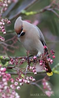 Waxwing and Cuckoo - Mark Hancox Bird Photography