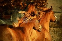Wild Horses II - Animals Photography - 54ka StockPhoto