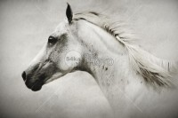 The White Horse - Animals Photography - 54ka StockPhoto