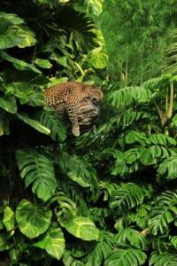 Piccsy :: Big-catsss: Sleeping Panther ByRadu Frentiu