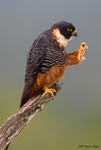 Bat Falcon (Falco rufigularis) | Flickr - Photo Sharing!