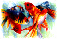 Goldfish_colored_pencil_by_zerotwospirited.png (800×547)