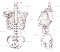 Skeletal Torso by ~LilithianRose