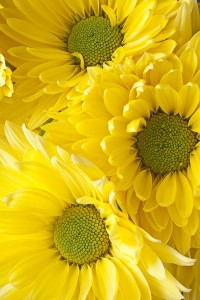 three-yellow-daisies-garry-gay.jpg (JPEG Image, 600 × 900 pixels)