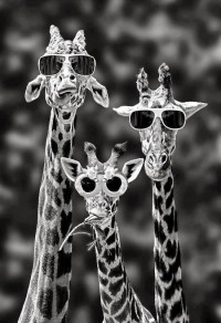 Girafes with sunglasses