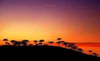 Araucaria sunset by =HMFS