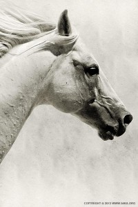 The White Horse III – White Horse Portrait - 54ka [photo blog]