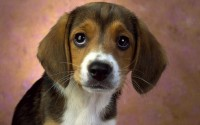 animals,dogs animals dogs beagle – animals,dogs animals dogs beagle – Dogs Wallpaper – Desktop Wallpaper