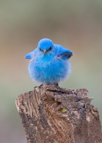 Mountain Bluebirds - FM Forums