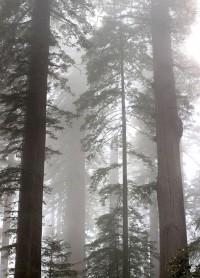 Dimijian Images redwoods fog LBJ