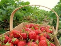 strawberry family farm - Google Search