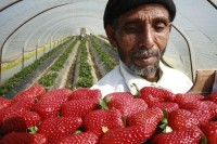 strawberry pickers | Flickr - Photo Sharing!