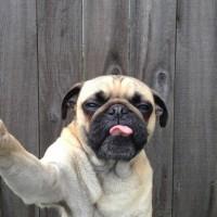 Norm, the pug @ ShockBlast