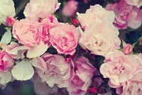 Roses | We Heart It
