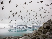 Birds Picture -- Dovekies Wallpaper -- National Geographic Photo of the Day