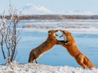 Alaska Picture -– Foxes Photo -- National Geographic Photo of the Day