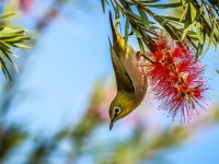 Japanese White-Eye Picture -- Bird Photo -- National Geographic Photo of the Day