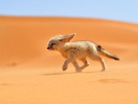 Fennec Fox Photo -- Morocco Picture -- National Geographic Photo of the Day