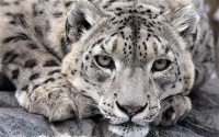 snowLeopard_1947419c.jpg (Image JPEG, 460x287 pixels)
