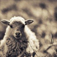 Little lamb Art Print by pascal+ | Society6