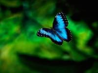 Karner Blue Butterfly |